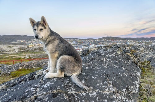 A Northern Inuit wolf sitting on a rock.