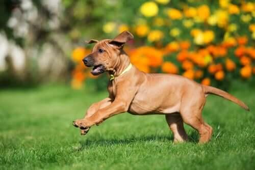 A Rhodesian ridgeback puppy prancing on the lawn.