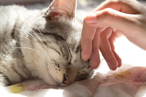 A cat sleeping while someone strokes their forehead.