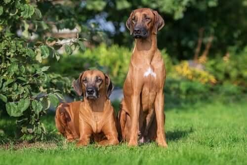 The Rhodesian Ridgeback: A Brave Dog
