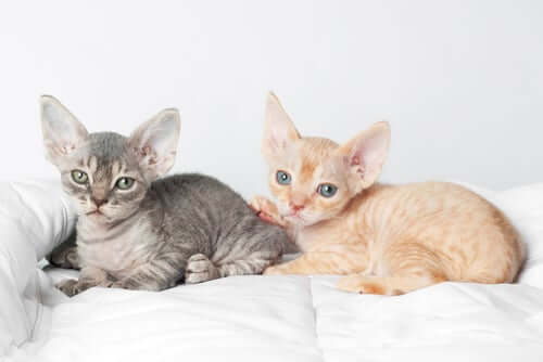 A couple of Devon Rex lying in bed.