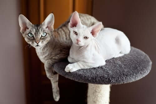 A pair of Devon rex looking at the camera.