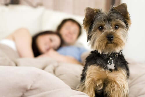 A wide awake dog in bed with its owners.