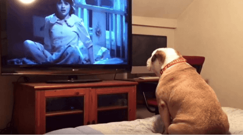 Horror Films Have a Fan Who's an English Bulldog