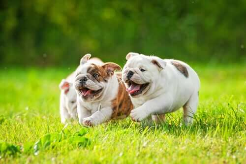 Three English Bulldog puppies running across the lawn.