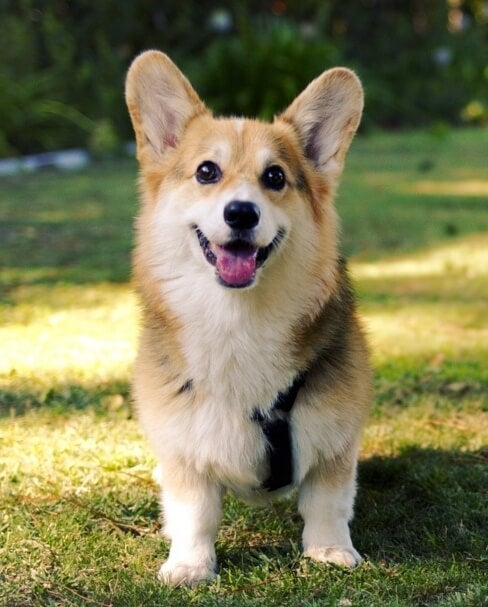 A Pembroke Welsh Corgi sitting on the lawn.