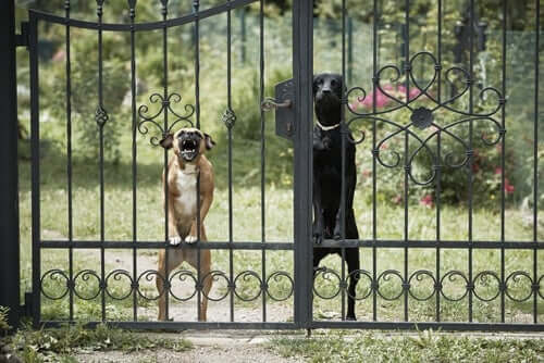 A couple of aggressive dogs behind a fence.