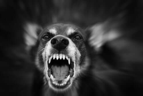 An aggressive dog barking.