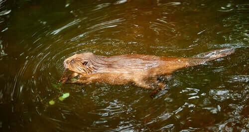 A beaver swimming in a river.