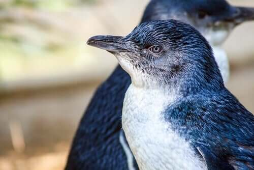 A fairy penguin looking away from the camera.