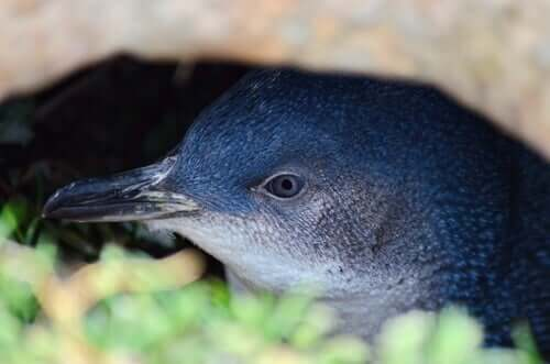 A close-up of a little blue penguin sitting in brush.