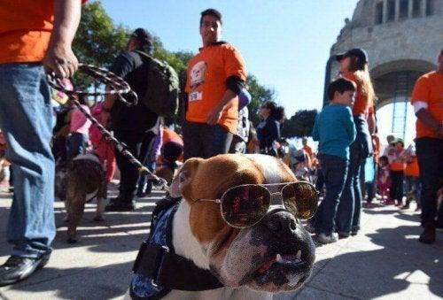 A bulldog wearing sunglasses at the parade.