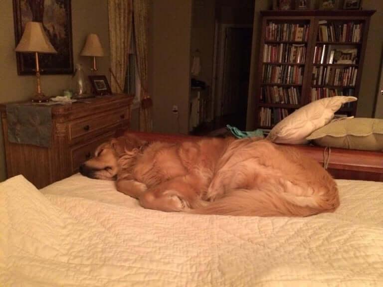 A golden retriever sleeping on a bed.