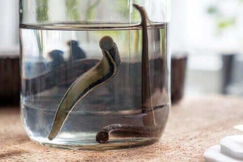 A Hirudo medicinalis floating in a jar.