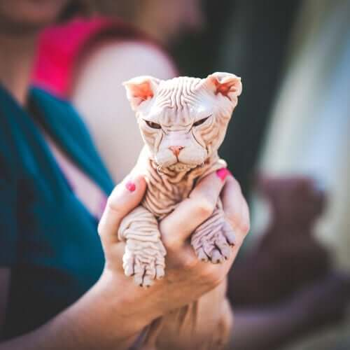 A person holding a Kohana cat in their hands.