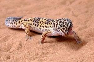 A leopard gecko on sand.