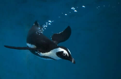 A penguin swimming in the water.