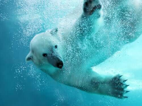 A polar bear swimming through the water.
