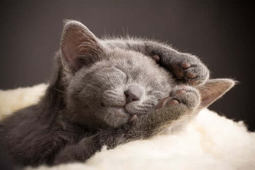 A Russian Blue Cat is one of several cat breeds you didn't know existed.