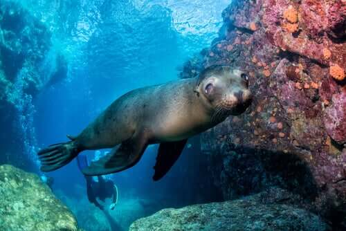 A sea lion swimming in shallow water.