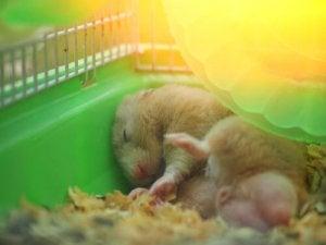 A sleeping hamster.