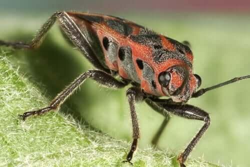 A triatoma infestans sitting on a leaf.