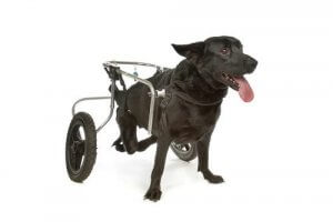A dog with a wheelchair.