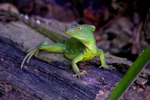 A Basiliscus plumifrons relaxing on a log.