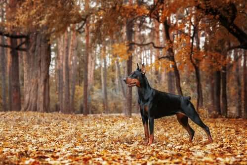 A Doberman in the woods.