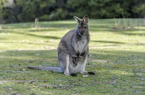 A Macropus robustus standing on a field with her baby.