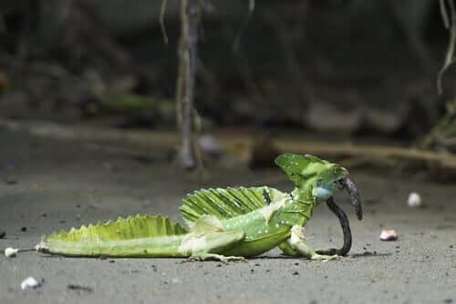 A common basilisk eating a worm.