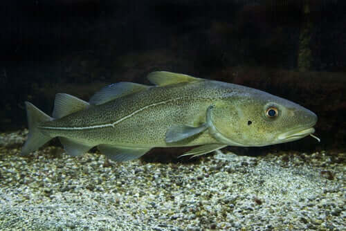 An Atlantic cod on the seabed.