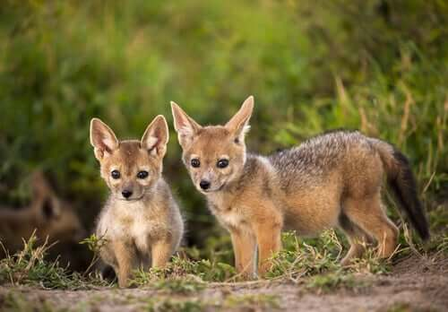 A couple of golden jackal cubs.
