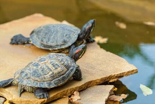 A couple of turtles on a rock.