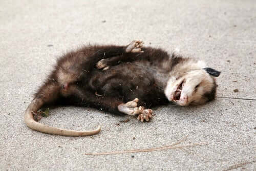 A dead possum on the road.