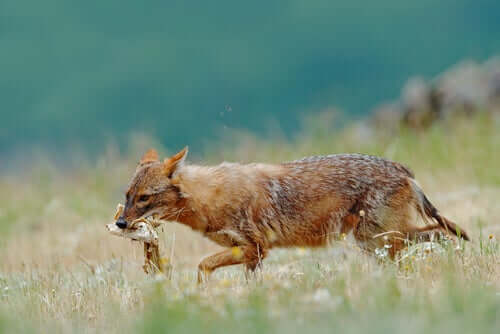 A golden jackal walking away with food.