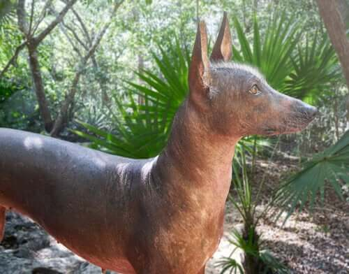 A Mexican hairless dog in a park.