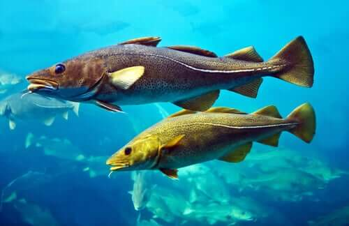Atlantic Cod: Characteristics and Reproduction