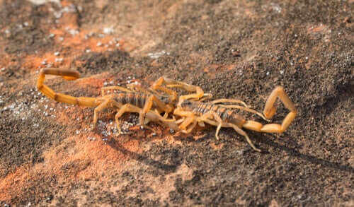 A pair of mating scorpions.