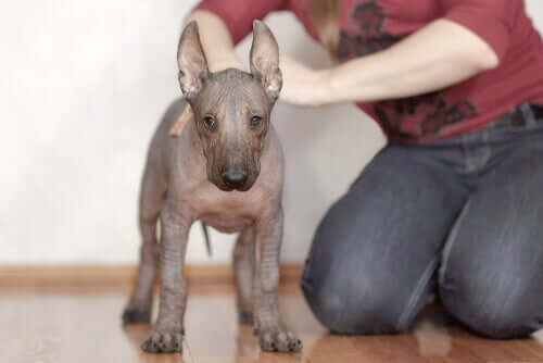 A person petting a hairless dog.