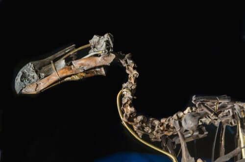 A skeleton of a Raphus cucullatus.