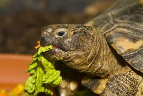 A pet aquatic turtle eating lettuce.
