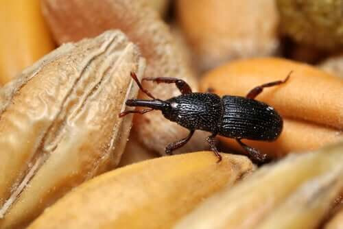 Wheat Weevils: A Plague in Your Pantry