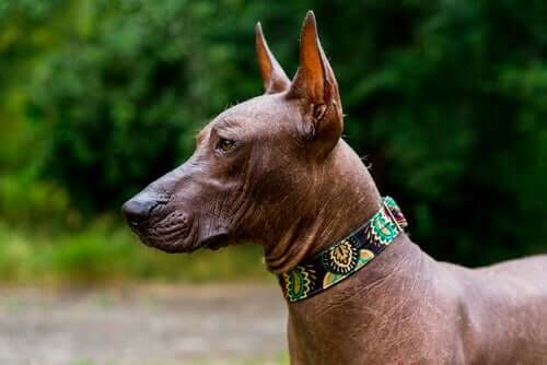 The Mexican Xoloitzcuintle, an Ancient Hairless Dog