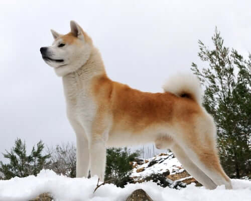 An Akita standing on snowy mountain.