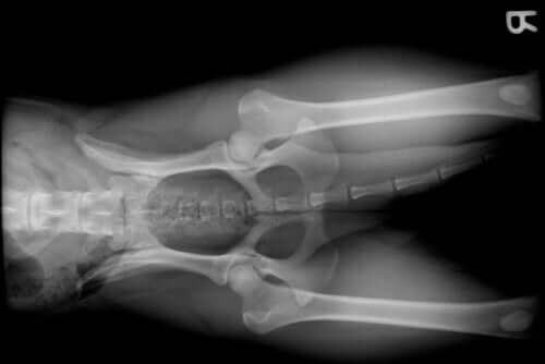 An x-ray of a dog's pelvis.