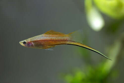 A fish with a sword-like tail.