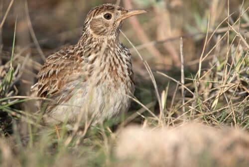 A lark hiding in the grass.