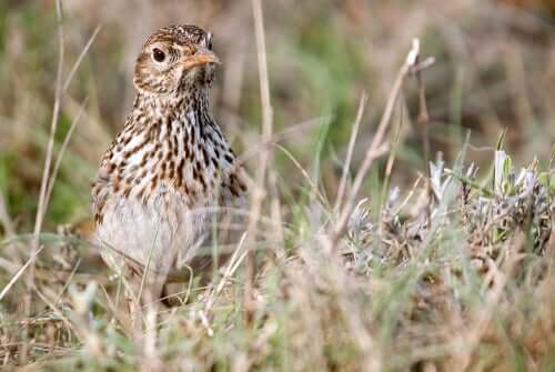 Dupont's Lark: Conservation of the Species
