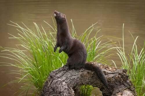 An American mink standing on a log.